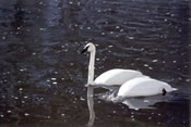 Trumpeter Swan on the Madison River - Yellowstone National Park