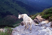 Goat on the hiking trail - Glacier National Park