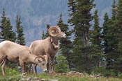 Big Horn Sheep - Glacier National Park